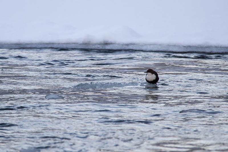 Strömstaren flyter på isflaket