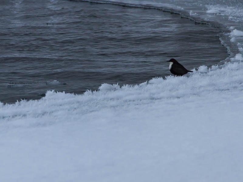 Strömstaren sitter på iskanten av vaken.