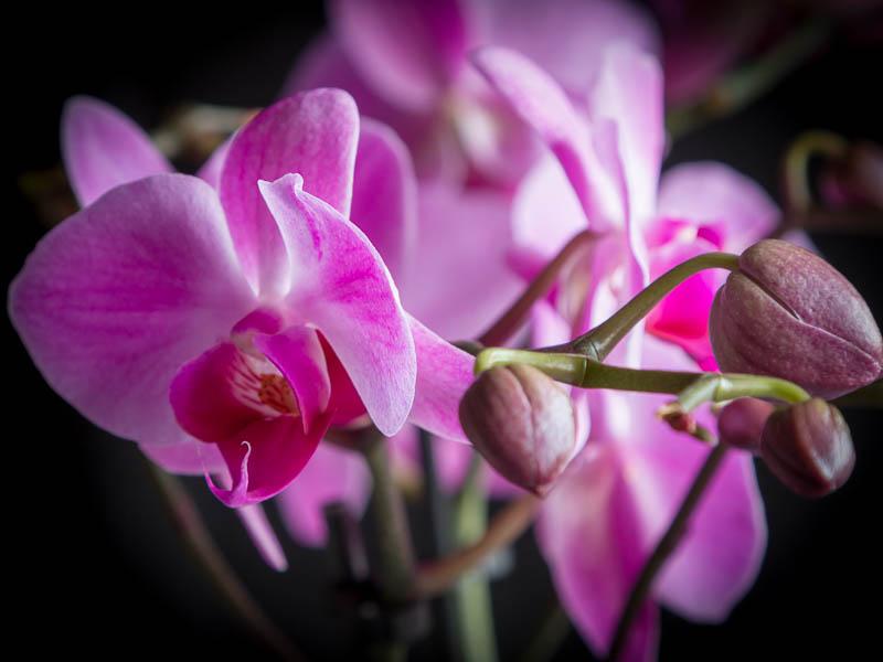 Orkidé Phalaenopsis