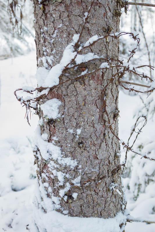 Kan ett träd hålla fången?  Här verkar någon ha gjort sitt bästa för gör det.  Taggtåden verkar har suttit där länge eftersom den gjort märken i trädet.