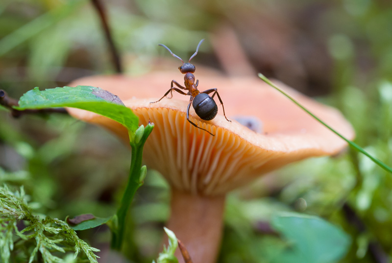 Svamp med myra