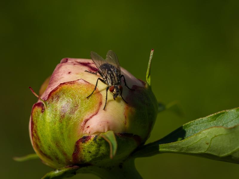 Pion med insekt.