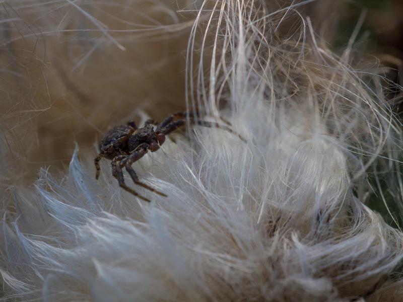 Spindel på tistel