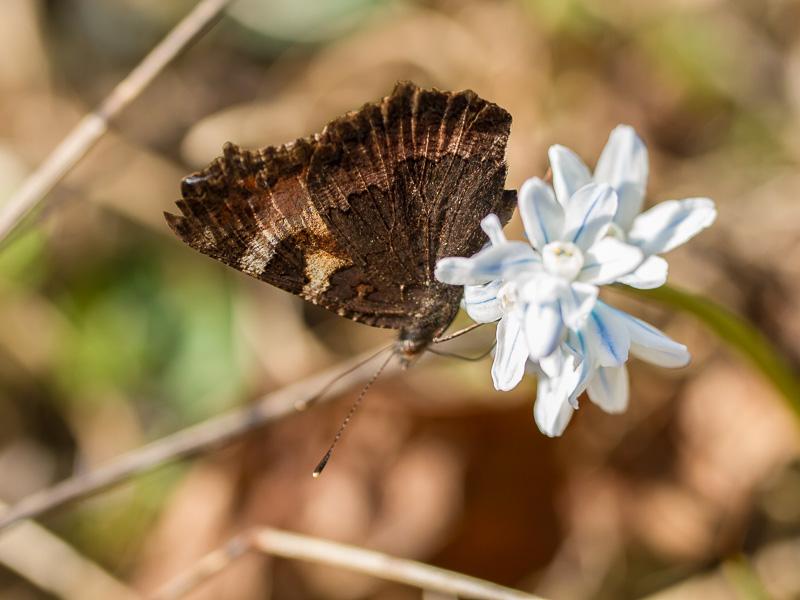 Fjäril på porlinshyasint